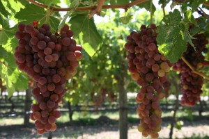 Seedless Flame Grapes